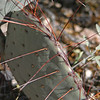 Brown-spined prickly pear, Opuntia phaeacantha