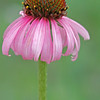 Purple cone flower, Echinacea sp.