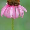 Purple cone flower, Echinacea sp.
