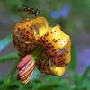 Columbia Lily, Lilium columbianum