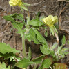 Cut-Leaf Evening Primrose, Oenothera laciniata