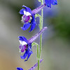 Larkspur,  Delphinium sp., Paris Texas