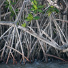 Red Mangrove, Rhizophora mangle