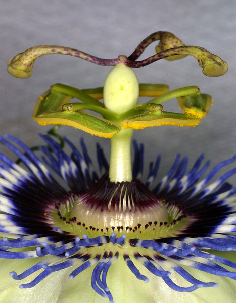 Passion Flower, Passiflora caerula