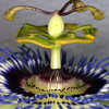 Passion Flower, Passiflora caerula