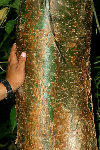 Gumbo limbo, Tourist tree, Bursera  simaruba
