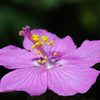 Rock Rose, Pavonia lasiopetala