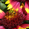 Beetle on Firewheel, Indian Blanket, Diabrotica u. howardi on Gaillardia pulchella