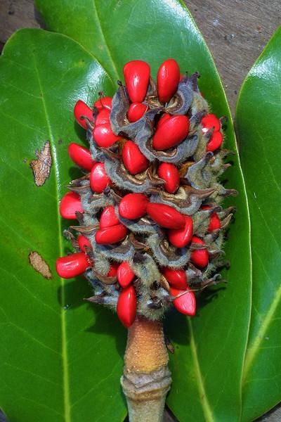 Magnolia cone, Magnolia grandiflora