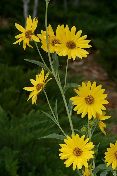Maximillian Sunflower, Helianthus maximiliani