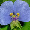 False Dayflower, Tinantia anomala