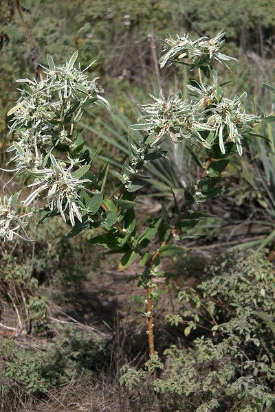 Snow-on-the-Mountain, Euphorbia (Agaloma) marginata