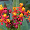 Blood Flower, Asclepias curassavica