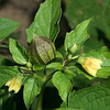 Ground Cherry, Physalis sp.