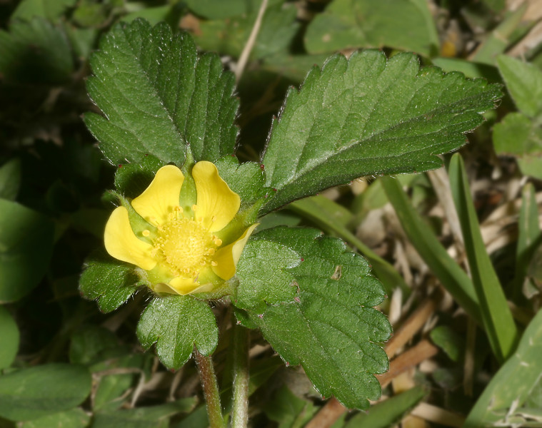 Indian Strawberry, Duchesnea indica