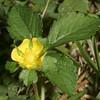Indian Strawberry, Duchesnea indica
