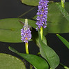 Pickerelweed, Pontederia cordata