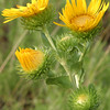 Saw-Leaf Daisy, Grindelia papposa