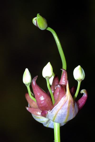 Wild Onion, Allium canadense