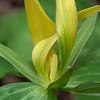 Yellow trillium, Trillium viride var. luteum