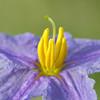 Silver-Leaf Nightshade, Solanum elaeagnifolium
