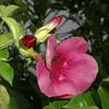 Purple allamanda, Cryptostegia grandiflora