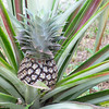 Pineapple, Ananas sp.