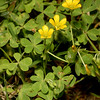 Woodsorrel, Oxalis stricta