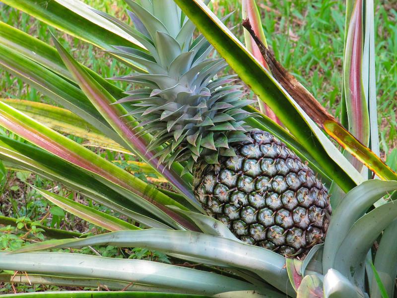 Pineapple, Ananas sp.