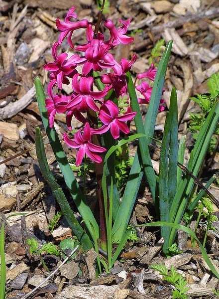 Hyacinth Flower, Hyacinthus