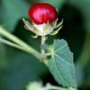 Turk's Cap, Malvavicus drummondii