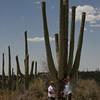 Saguaro cactus, Carnegiea gigantea