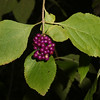 French Mulberry, American Beautyberry, Callicarpa americana