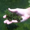 Ceratophyllum, pondweed, Ceratophyllum demersum