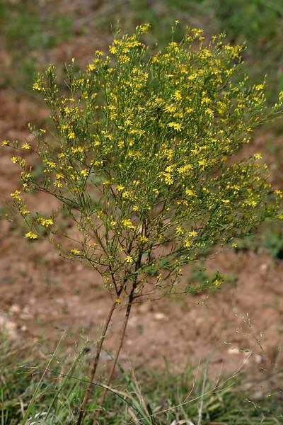 Broomweed, Gutierrezia microcephala