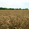 Wheat grain, Triticum sp.