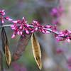 Texas Redbud, Cercis canadensis
