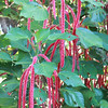 Chenille plant, Acalypha hispida