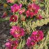 Cholla, Cane cactus, Opuntia imbricata