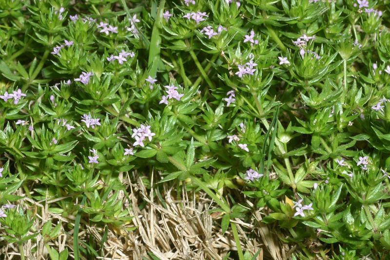 Spurwort, Herb Sherard, Sherardia arvensis