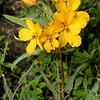 Two-leaved Senna, Senna roemeriana
