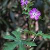 Wild geranium, Geranium maculatum