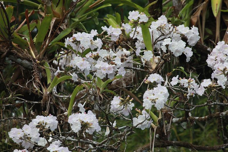 White poui, Tabebuia pallida