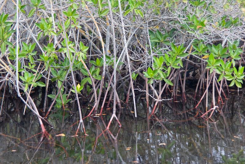 Red Mangrove, Rhizophora mangle