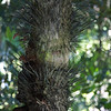 Peach palm, SPiny palm, Bactris gasipaes