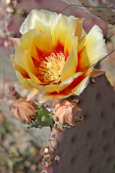 Purple pricly pear cactus, Opuntia violacea