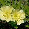 Missouri Primrose, Fluttermill, Oenothera macrocarpa