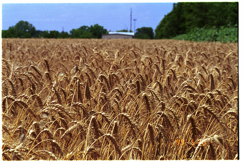 Wheat grain, Triticum sp.