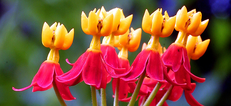 Butterfly Milkweed, Blood Flower, Asclepias curassavica