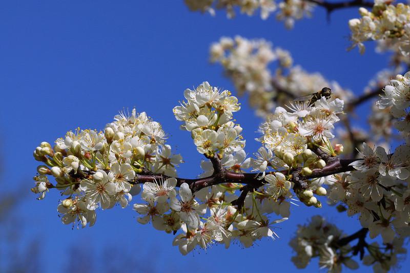 Mexican Plum, Prunus mexicana